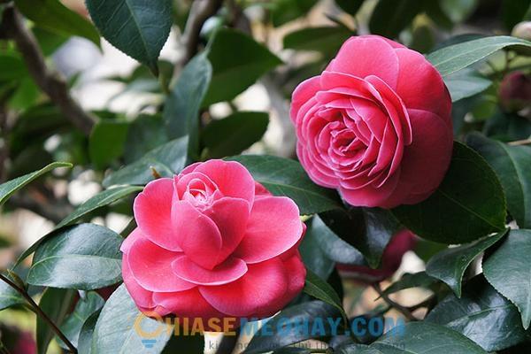 Cây hoa trà cho người mệnh Thủy