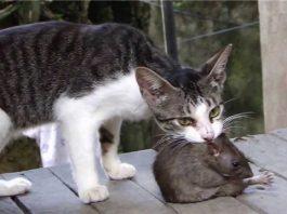 Mẹo hay đuổi chuột ra khỏi nhà bằng mèo